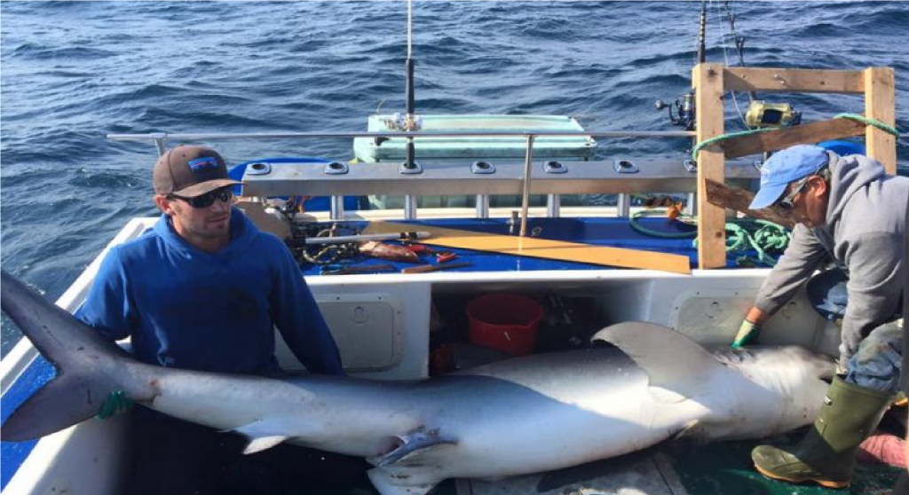 Captain Gaetan helps Dal students tag the blue shark they reeled in.