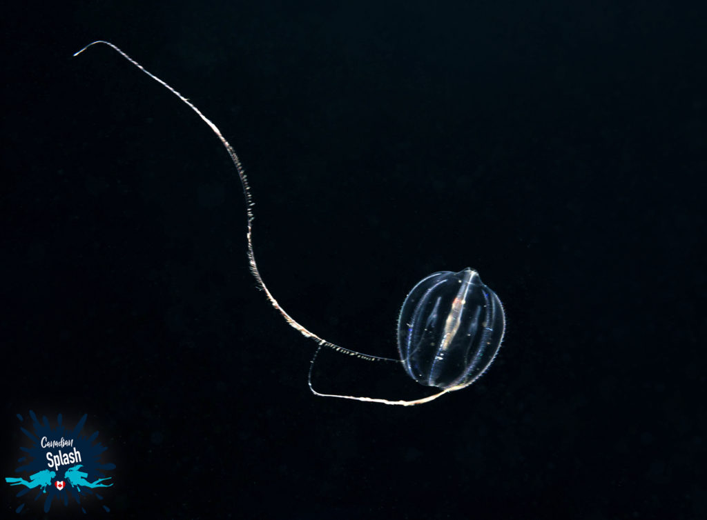In this image: A sea gooseberry.